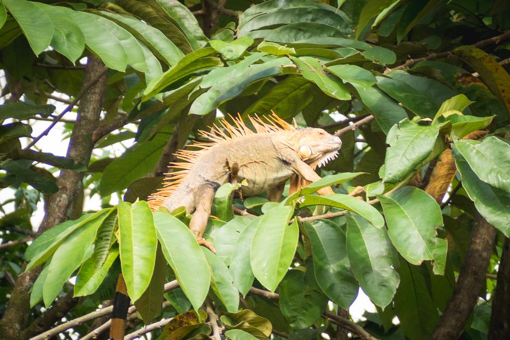 Animaux Costa Rica et Nicaragua   (3)